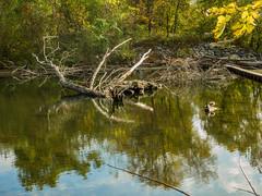 Ramapo River Oakland_2560 (smack53) Tags: smack53 oakland nikon ramaporiver river water stream brook reflections trees autumn autumnseason autumncolors fall fallseason fallcolors foliage coolpix p7000 nikonp7000 nikoncoolpixp7000