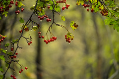 Tempting (tonguedevil) Tags: outdoor outside countryside autumn nature woodland trees berries red green hawthorn rain raindrops colour light shadows