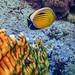 poisson papillon à queue noire-2019-10-09