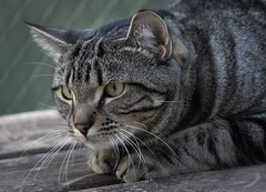 The wild side...Nature's instincts. (Picture-Perfect Cats) Tags: marley cat tabby male young outdoors staring eyes