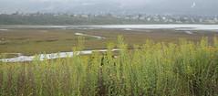 Telegraph Weed Over the Salt Marsh (marlin harms) Tags: heterothecagrandiflora telegraphweed morrobaysaltmarsh morrobaybackbay morrobaystatepark