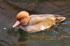 Red Crested Pochard (Dougie Edmond) Tags: lasvegas bird nature duck wildlife nevada unitedstatesofamerica