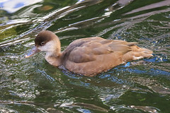 Red Crested Pochard (Dougie Edmond) Tags: bird nature duck lasvegas wildlife nevada unitedstatesofamerica