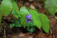 Veilchen im Regen (julia_HalleFotoFan) Tags: wald mai ostsee zingst osterwald veilchen viola