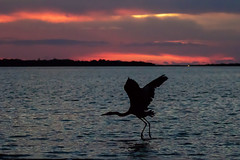 Great Blue Heron Sunset Water Takeoff (dbadair) Tags: outdoor seaside dennis adair shore sea sky water nature wildlife 7dm2 7d ii ef100400mm ocean canon florida bird