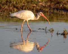 White Ibis at Sunset (dbadair) Tags: outdoor seaside dennis adair shore sea sky water nature wildlife 7dm2 7d ii ef100400mm ocean canon florida bird