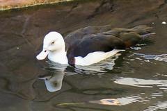 Radjah Shelduck (Dougie Edmond) Tags: bird nature duck lasvegas wildlife nevada unitedstatesofamerica