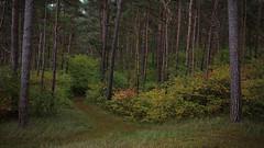 Lubminer Heide (Lichtbursche) Tags: 2019 autumn deutschland endmoräne germany greifswalderbodden heide herbst kiefer loitz lubmin lubminerheide mecklenburgvorpommern october oktober segler sven vorpommern wald westernpomerania forest green grün heath natur pine wood