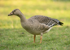 Greater White-fronted Goose juvenile (Hockey.Lover) Tags: delvalleregionalpark greaterwhitefrontedgoose birds juvenile