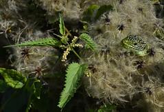 acechando (gabrielg761) Tags: camuflage acechar follage presa esperar