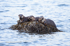 Otter Party (ArmanWerthPhotography) Tags: armanwerthphotography riverotter otter fish britishcolumbia canada wildlife wild