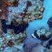 poisson globe masqué-2019-10-12