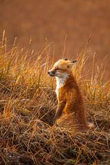 Red Fox at Golden Hour (Dan King Alaskan Photography) Tags: redfox fox vulpesvulpes goldenhour northslope alaska wildlife wilderness tundra protectwildlife preservewilderness predator canon50d sigma150500mm