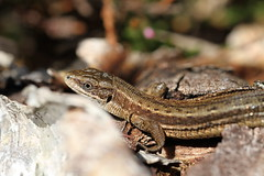 Local Lizards. (ChristianMoss) Tags: viviparous lizard zootoca vivipara reptile eppingforest common outside