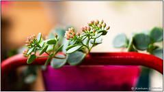 DSCF0609.jpg (DrOpMaN®) Tags: lenstagger xe2 m43turkiye korhankumral on1effects canonfd50mmf14 flowersplants fuji macro outdoor canon lightroomclassiccc fujifilm 50mm