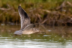 Willet Inflight (dbadair) Tags: outdoor seaside dennis adair shore sea sky water nature wildlife 7dm2 7d ii ef100400mm ocean canon florida bird flight