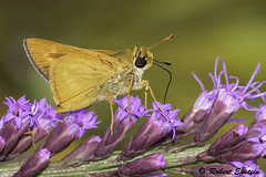 Meske's Skipper  8 (Robert Epstein) Tags: arthropods bullcreekwma butterflies florida meskesskipperhesperiameskei osceolacounty skippers wildlife