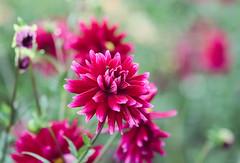 dahlias (Christine_S.) Tags: flowers nature japan closeup flowerfield floralphotography mirrorless ef100mmf28l ibarakiflowerpark canoneosm5 magenta ダリア 茨城フラワーパーク 石岡市 ngc npc