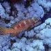 mérou de mer rouge-2019-10-12