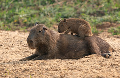 Capybara and youngster (dr brewbottle) Tags: capybara brazil pantanal young back rodent