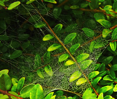 Whose web?  14.10.19. (VolVal) Tags: dorset bournemouth boscombe garden web leaves october hat