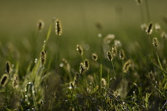 Morning dew (fdlscrmn) Tags: meadow grass dew bikeh green fly tamronaf wet 300mm weed grassears