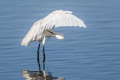 Time For An Inspection (Glenn.B) Tags: nature naturereserve rspb someretlevels somerset wildlife hamwall egret littleegret bird avian water
