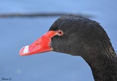 Black Swan Portrait (Eleanor (New account))) Tags: bird swan blackswan portrait water stjamesspark london england uk nikond7100 october2019