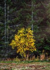(Jonas Thomén) Tags: autumn fall höst skog forest woods filed åker buske bush yellow gul grass gräs