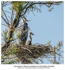 Camargue- Hérons cendrés au nid (argazkilari 64- No multi invit please) Tags: héron nidification héronneau ornithologie oiseaux
