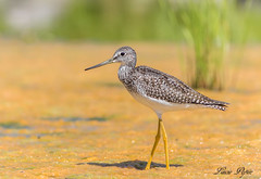 Grand chevalier - Greater Yellowlegs (Lucie.Pepin1) Tags: oiseaux birds limicoles eau water nature wildlife faune fauna luciepepin canon7dmarkii canon300mml