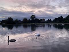 Barshaw reflections (markshephard800) Tags: pond lake renfrewshire paisley barshawpark dusk clouds water swans reflections
