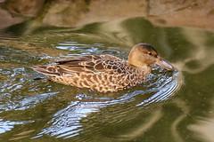 Cinnamon Teal (Dougie Edmond) Tags: lasvegas nevada unitedstatesofamerica duck nature wildlife