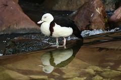 Radjah Shelduck (Dougie Edmond) Tags: lasvegas nevada unitedstatesofamerica duck bird nature wildlife