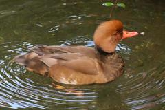 Red Crested Pochard (Dougie Edmond) Tags: lasvegas nevada unitedstatesofamerica duck bird nature wildlife