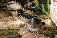 Wood Duck (Dougie Edmond) Tags: lasvegas nevada unitedstatesofamerica duck nature wildlife
