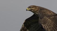 When you can't decide! (Ann and Chris) Tags: avian awesome buzzard close beautiful eye flying impressive looking predator raptor birdofprey stunning wild