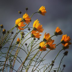 Helianthus Salicifolius (viki_paterson) Tags: blowinginthewind yellowflowers rainy stormy flowers helianthussalicifolius helianthus