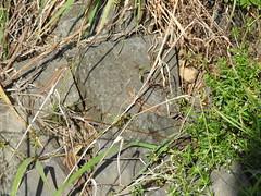 Drillinge (naturgucker.de) Tags: ngid1563520008 lacertaagilis zauneidechse