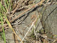 Zauneidechse (naturgucker.de) Tags: ngid1668595551 lacertaagilis zauneidechse