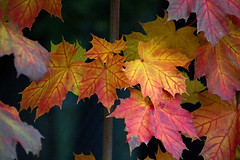 Bunte Ahornblätter - Colorful maple leaves (heinrich.hehl) Tags: herbst natur flora ahorn blätter farben colors leaves maple nature autumn