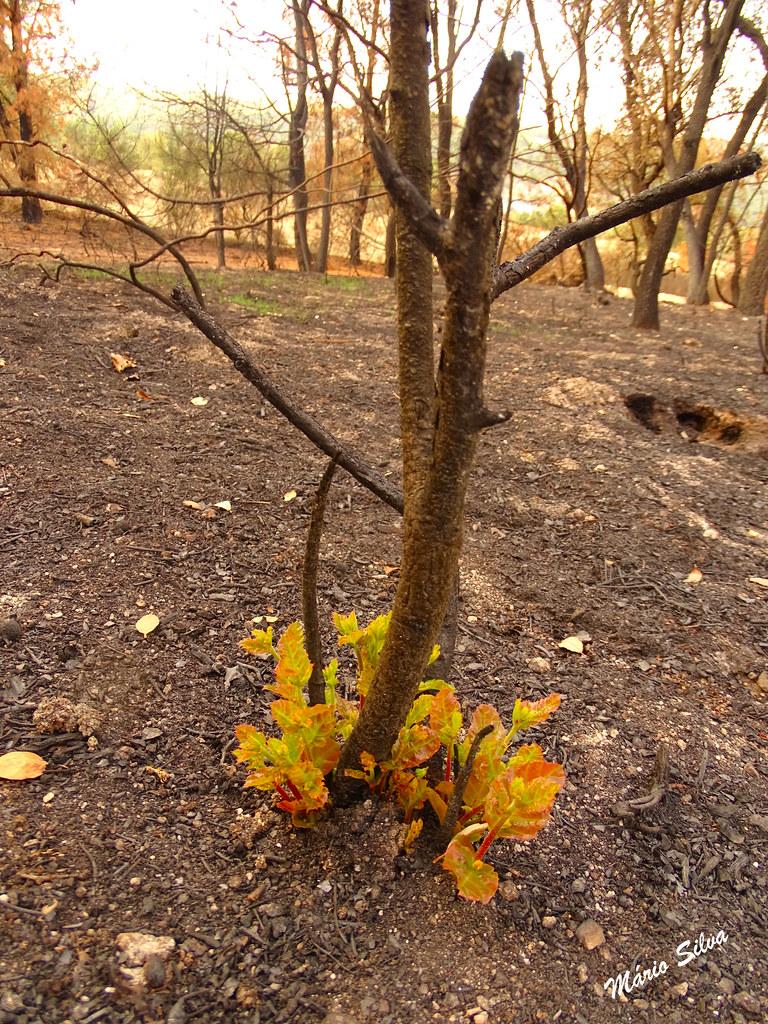 """Águas Frias (Chaves) - ... após o incêndio de setembro, por entre o negro das cinzas, a Natureza luta contra as adversidades (muitas vezes criminosas), mas tenta renovar-se, brotando novas plantas (um bom exemplo para os Humanos - seres """"pensantes"""" )"""