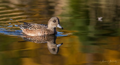 American Wigeon (F) (Melissa M McCarthy) Tags: americanwigeon wigeon duck bird animal nature outdoor wildlife wild waterfowl waterbird water pond reflections fall colors gold morninglight paradise newfoundland canada canon7dmarkii canon100400isii
