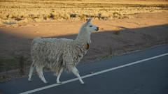 The proud lama (Chemose) Tags: sony ilce7m2 alpha7ii mai may bolivie bolivia lapaz uyuni road route animal llama lama