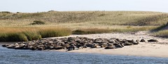 Grey Seal colony (RubénRamosBlanco) Tags: naturaleza nature animales wildlife mamíferos mammals focagris greyseal halichoerusgrypus colonia colony verano summer playa beach chatham mass usa
