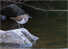 Common Sandpiper Actitis hypoleucos (Antony Ward) Tags: sandpiper wader river northumberland