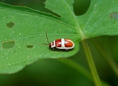 Leaf Beetle --- Asphaera discicollis (creaturesnapper) Tags: leafbeetles chrysomelidae panama coleoptera beetles insects asphaeradiscicollis galerucinae
