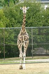 Buffalo Zoo (Tiger_Jack) Tags: buffalozoo buff zoo zoos zoosofnorthamerica itsazoooutthere giraffes giraffe