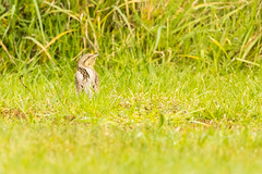 Wryneck on show (ejwwest) Tags: rare meonroad birds southcoast titchfieldhaven wryneck migrant wildlife jynxtorquilla titchfield meonshore hampshire bird meonriver newforest hillhead solent fareham england unitedkingdom