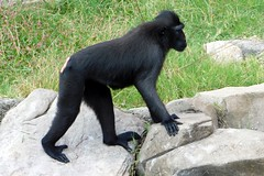 Memphis Zoo (Tiger_Jack) Tags: memphis memphiszoo zoo zoos zoosofnorthamerica itsazoooutthere primate primates